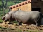 Hippopotame commun